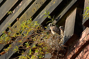 Common kestrel (Falco tinnunculus), two chicks on nest amongst Buddleia on old railway viaduct. Stockport, Greater Manchester, England, UK. June.  -  Terry Whittaker