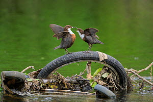 Dipper (Cinclus cinclus) pair food passing, perched on bicycle tyre dumped in river. Research from Manchester University has found rivers flowing through Greater Manchester to have the highest levels...  -  Terry Whittaker