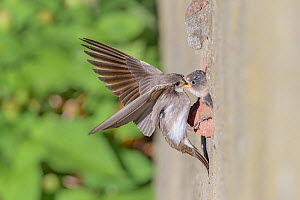Sand martin (Riparia riparia) feeding chicks, nesting in old drainage pipe along River Mersey retaining wall. Greater Manchester, England, UK. June.  -  Terry Whittaker