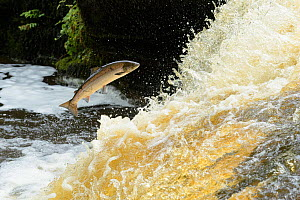 Atlantic salmon (Salmo salar) leaping up waterfall to reach spawning grounds upstream. River Endrick, Loch Lomond and The Trossachs National Park, Scotland, UK. July.  -  Terry Whittaker