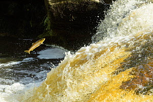 Brown trout (Salmo trutta) leaping up waterfall to reach spawning grounds upstream. River Endrick, Loch Lomond and The Trossachs National Park, Scotland, UK. July.  -  Terry Whittaker