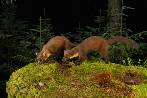 Pine marten (Martes martes) female and kit sniffing amongst moss, in coniferous forest at night. Loch Lomond and The Trossachs National Park, Scotland, UK. July. Camera trap image.  -  Terry Whittaker