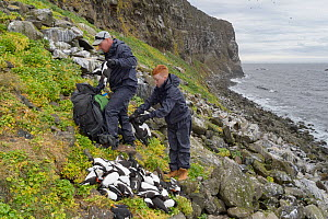 Father and son, Sigurour Henningson and Gabriel filling Puffin (Fratercula arctica) and Razorbill (Alca torda) carcasses into rucksack to carry up cliff. Grimsey Island, Iceland. July 2019.  -  Terry Whittaker