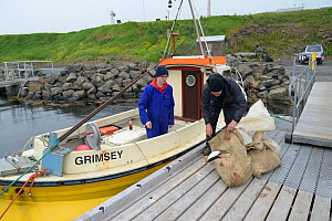 Father and son, Magnus Bjarnason and Bjarni Magnusson loading sacks of Puffin (Fratercula arctica) carcasses into boat, caught on cliff using traditional long-handled nets. Grimsey Island, Iceland. Ju...  -  Terry Whittaker