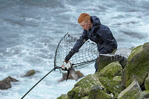 Gabriel Sigurourson retrieving Puffin (Fratercula arctica) caught with traditional long-handled net, on coast. Grimsey Island, Iceland. July 2019.  -  Terry Whittaker