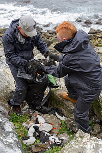 Father and son, Sigurour Henningson and Gabriel, filling Puffin (Fratercula arctica) and Razorbill (Alca torda) carcasses into rucksack to carry up cliff. Grimsey Island, Iceland. July 2019.  -  Terry Whittaker