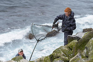Father and son, Sigurour Henningson and Gabriel, catching Puffin (Fratercula arctica) with traditional long-handled net on coast. Grimsey Island, Iceland. July 2019.  -  Terry Whittaker