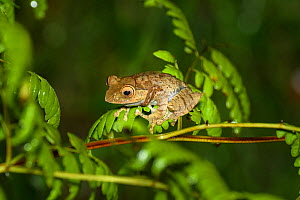 Bright-eyed frog (Boophis madagascariensis) on Fern. Ranomafana National Park, Madagascar.  -  Terry Whittaker