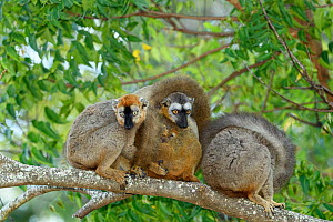 Red-fronted brown lemur (Eulemur rufifrons), three on branch with small baby, in spiny forest. Berenty Private Reserve, Madagascar.  -  Terry Whittaker