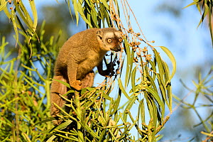 Red-fronted brown lemur (Eulemur rufifrons) feeding in Eucalyptus tree, Berenty Private Reserve, Madagascar.  -  Terry Whittaker