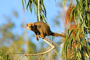 Red-fronted brown lemur (Eulemur rufifrons) in Eucalyptus tree. Berenty Private Reserve, Madagascar.  -  Terry Whittaker