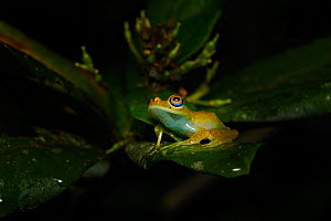 Green bright-eyed frog (Boophis viridis) on leaf at night. Andasibe-Mantadia National Park, Madagascar.  -  Terry Whittaker