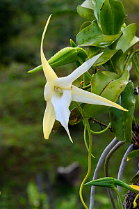 Darwin's epiphytic orchid (Angraecum sesquipedale). In hotel garden, Andasibe, Madagascar.  -  Terry Whittaker