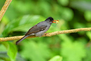 Malagasy bulbul (Hypsipetes madagascariensis) feeding, perched on branch with food in beak. Mantadia Forest, Madagascar.  -  Terry Whittaker