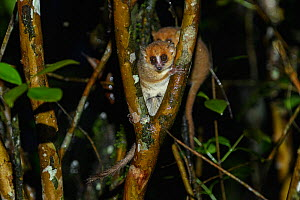 Brown mouse lemur (Microcebus rufus) in tree fork at night. Ranomafana National Park, Madagascar.  -  Terry Whittaker