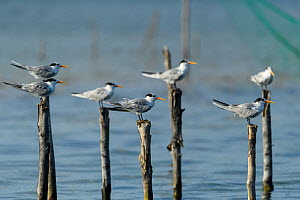 Greater crested tern (Thalasseus bergii) flock perched on posts in Pangalanes Canal, Palmarium Reserve. Lake Ampitabe, Madagascar.  -  Terry Whittaker