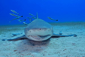 Lemon shark (Negaprion brevirostris) on sea floor, Whitefin sharksucker (Echeneis neucratoides) remora cleaning shark's mouth and teeth, group of remoras in background. Bahamas.  -  Pascal Kobeh