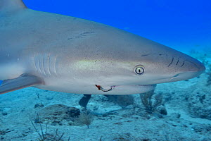 Caribbean reef shark (Carcharhinus perezii) with fishing hook in mouth, portrait. Bahamas. 2019.  -  Pascal Kobeh