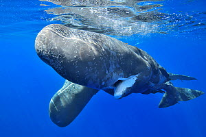 Sperm whale (Physeter macrocephalus) female and calf below surface, female covered in scars. Mauritius.  -  Pascal Kobeh
