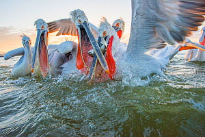 Dalmatian pelican (Pelicanus crispus) group squabbling over fish, Lake Kerkini, Greece.  -  Edwin Giesbers