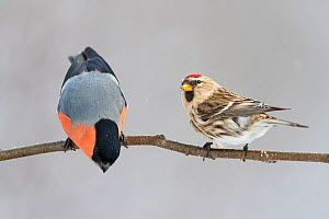 Eurasian bullfinch (Pyrrhula pyrrhula) male and Common redpoll (Acanthis flammea) perched on branch. Vaagaa, Norway. January.  -  Erlend Haarberg