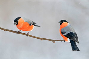 Eurasian bullfinch (Pyrrhula pyrrhula), two males perched on branch. Vaagaa, Norway. January.  -  Erlend Haarberg