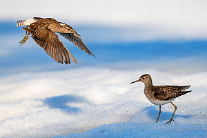 Wood sandpiper (Tringa glareola), two fighting in snow. Pasvik, Norway. May.  -  Erlend Haarberg
