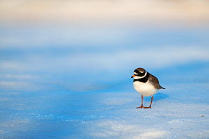 Common ringed plover (Charadrius hiaticula) standing on snow. Pasvik, Norway. May.  -  Erlend Haarberg