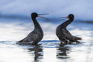 Spotted redshank (Tringa erythropus), two males fighting in water. Pasvik, Norway. May.  -  Erlend Haarberg