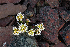 Common scurvygrass (Cochlearia officinalis) amongst rocks. Varanger, Norway. June.  -  Erlend Haarberg