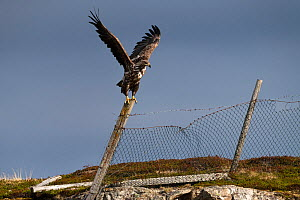 White-tailed eagle (Haliaeetus albicilla) perched on old fence. Varanger, Norway. June.  -  Erlend Haarberg