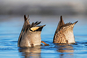 Eurasian teal (Anas crecca) pair feeding, upended with heads in water. Pasvik, Norway. May.  -  Erlend Haarberg