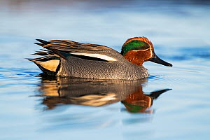 Eurasian teal (Anas crecca) male, reflected in water. Pasvik, Norway. May.  -  Erlend Haarberg