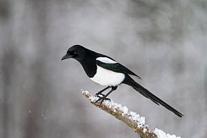 Eurasian magpie (Pica pica) perched on branch in snow. Vaagaa, Norway. December.  -  Erlend Haarberg
