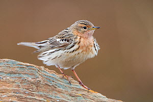 Red-throated pipit (Anthus cervinus). Varanger, Norway.  -  Erlend Haarberg