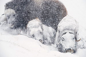 Muskox (Ovibos moschatus) group resting in snowstorm. Dovrefjell-Sunndalsfjella National Park, Norway. February.  -  Erlend Haarberg
