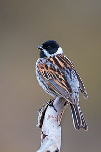 Reed bunting (Emberiza schoeniclus) male perched on branch. Vauldalen, Norway, May.  -  Erlend Haarberg