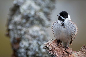 Reed bunting (Emberiza schoeniclus) male perched on branch. Vauldalen, Norway. May.  -  Erlend Haarberg