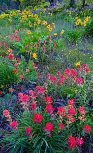 Indian paintbrush (Castilleja), balsamroot (Balsamorhiza sagittata), and lupin flowers (Lupinus sp) in the Columbia River Gorge, Oregon, USA. April.  -  John Shaw