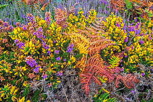 Bell heather (Erica cinerea) and Western gorse / Dwarf furze (Ulex gallii) in flower in summer, Normandy, France. August  -  Philippe Clement