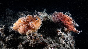 Hairy frogfish (Antennarius striatus) pair on reef approximately 22 hours prior to spawning, female's abdomen swollen with eggs. Ariake Sea, Japan.  -  Tony Wu