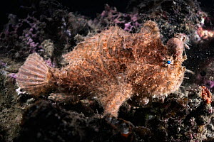Hairy frogfish (Antennarius striatus) male resting, lump on head and abdomen resulting from infection by Parasitic copepod (Sarcotaces pacificus). The female parasite resides within the lump where she...  -  Tony Wu