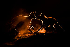 Wild dog (Lycaon pictus) two pups playing in dust, Mkuze, South Africa. August. Highly commended in the Mammals category of the GDT European Wildlife Photographer of the Year Competition 2020.  -  Bence Mate