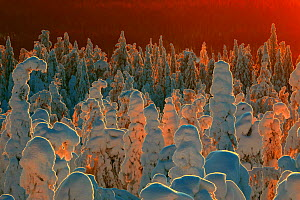 Snow-covered taiga forest in Finland. Honoured in the MontPhoto awards 2020.  -  David Allemand