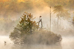 "Cormorants (Phalacrocorax carbo) in early morning mist, Oisterwijkse Bossen en Vennen nature reserve, Netherlands, November. Runner-up in ""De Lage Lande"" (animals in landscape) category of Nature Pho...  -  David Pattyn"