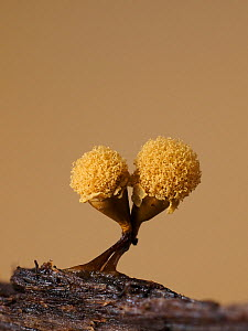 Slime mould (Hemitrichia clavata) sporangia, sponge like structure containing spores expanding a few minutes after splitting open. Hertfordshire, England, UK. August. Focus stacked image. Sequence 4/5...  -  Andy Sands