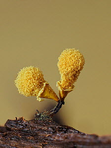 Slime mould (Hemitrichia clavata) sporangia, sponge like structure containing spores has expanded to five times its original size, spores dispersed by wind. Hertfordshire, England, UK. August. Focus s...  -  Andy Sands
