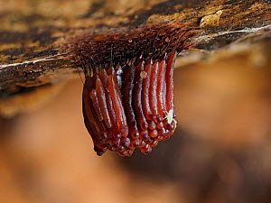 Slime mould (Stemonitis sp), recently formed sporangia changing colour from orange to red, taken 20 minutes after previous photo. Buckinghamshire, England, UK. September. Focus stacked image. Sequence...  -  Andy Sands