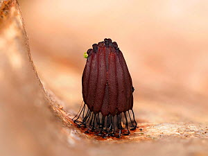 Slime mould (Stemonitis sp) fruiting sporangia on leaf, exhibiting rapid colour change from red to crimson, taken 20 minutes after previous photo. Buckinghamshire, England, UK. September. Focus stacke...  -  Andy Sands