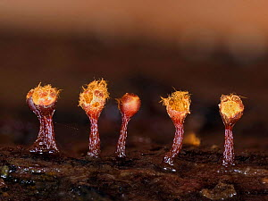 Slime mould (Trichia botrytis), fully developed sporangia releasing spores, Hertfordshire, England, UK, December - Focus Stacked  -  Andy Sands